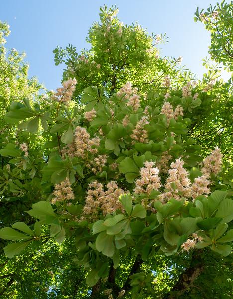 Chestnut tree in Oberschönenfeld | Gessertshausen, Bayern, Deutschland