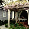 The house thru the old arbor and grand wisteria