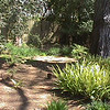 Backyard with very large pine tree