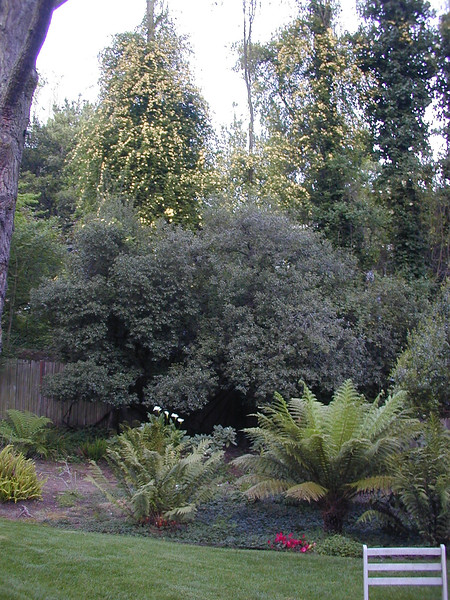 Backyard before removing pines & installing Japanese garden
