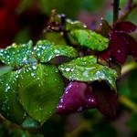 Rainy Roses :