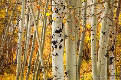 Aspen Trees - Vail, Colorado