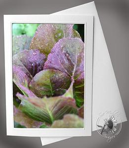Dew on Lettuce