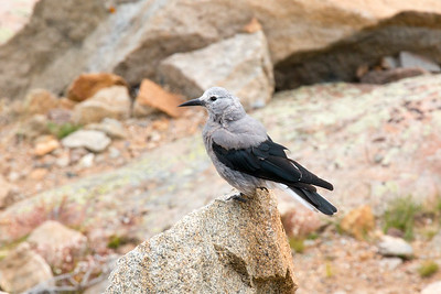 Clark's Nutcracker, Rocky Mountain Nat'l Park, CO