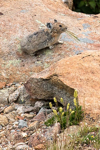 Pika, Rocky Mountain Nat'l Park, CO