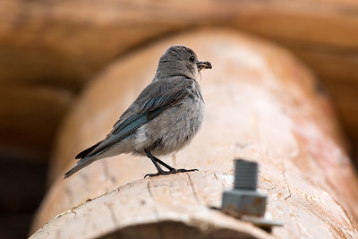 Female Mountain Bluebird, Rocky Mountain Nat'l Park, CO