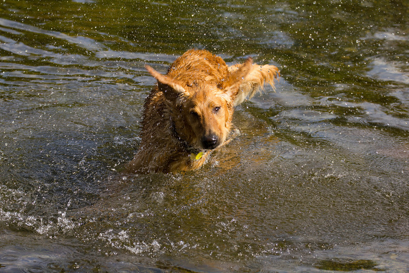 Enzo is shaking his head after submersing it in the Henry's Fork of the Snake River. Idaho. Sep 8, 2013