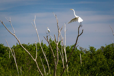 Great Egrets, Everglades NP, FL