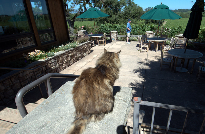Another winery cat at Rochioli. Beautiful patio surrounded by rose bushes and vineyards.