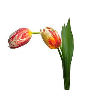 SpringTulips #2