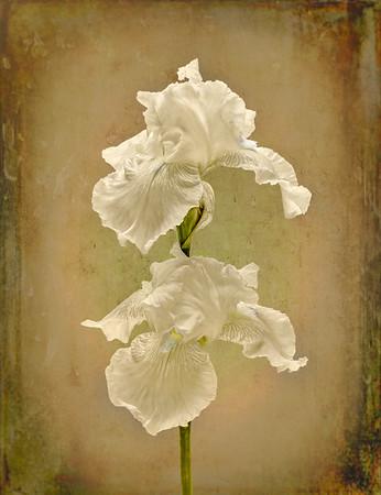 Backlit White Iris
