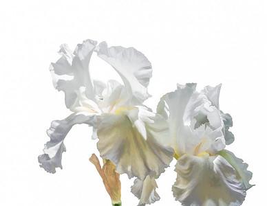White Irises on White