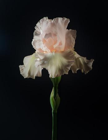 Pink Iris on Black