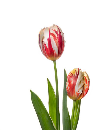 Spring Tulips #1