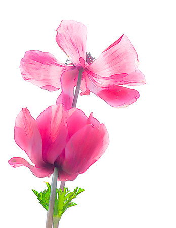 Painted Pink Poppy