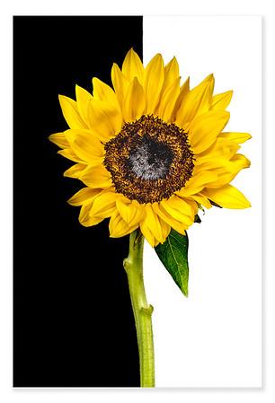 Black & White Sunflower