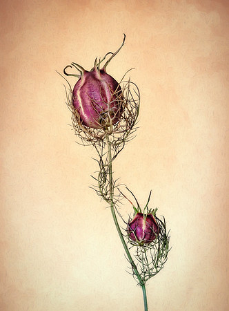 Purple Nigella Seed Pod