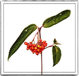 Red ElderberrySeeds