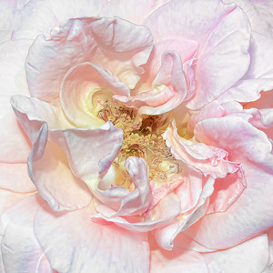Macro Pink Rose