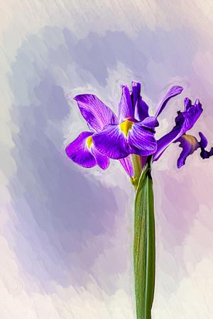 Painted Purple Iris