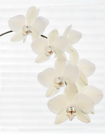 White on White Orchids