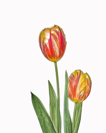Two Stiped Tulips