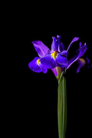 Backlit Purple Iris