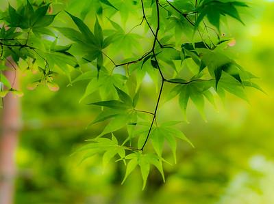Kyoto Maple Leaves