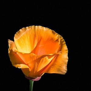 Clifornia Poppy