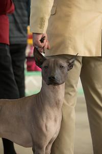 Ellie Sophia - Indianapolis Dog Show