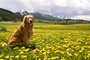 Reggie in the Dandelions with East Centennial Mountains in the background, Island Park, Idaho. June 20, 2008.