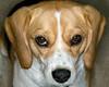 Casey the Beagle, owner of Steve and Karen from Mesa, AZ.