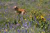 Reggie in field of Wildflowers in Island Park, Idaho. July 15, 2009