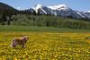 Reggie at Meadow Vue Ranch with Dandelions. June 22, 2011. Island Park, Idaho.