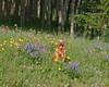 Reggie looking happy for being in the wildflowers near RedRock RV Park in Island Park, Idaho. 2004