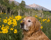 Reggie sniffing the daisies... (those aren't daisies though, they are arrowleaf balsamroot.) at RedRock RV Park in Island Park, Idaho. July 2009