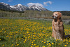 Reggie in front of the East Centennial Mountains in a field of dandelions. June 14, 2010.