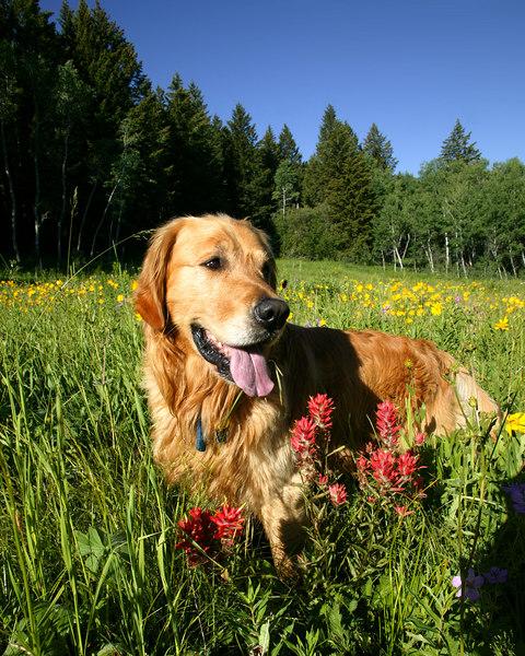 Reggie in wildflower field in Idaho, July 2006