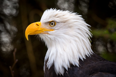 Bald Eagle, Sitka, AK