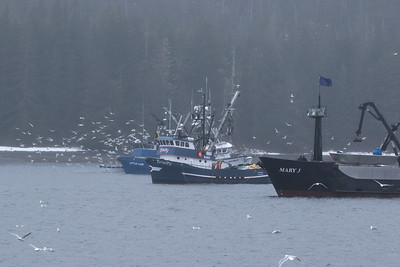 Sitka Sound sac roe herring fishery, Sitka Sound, AK