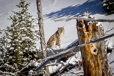 Bobcat, Yellowstone NP