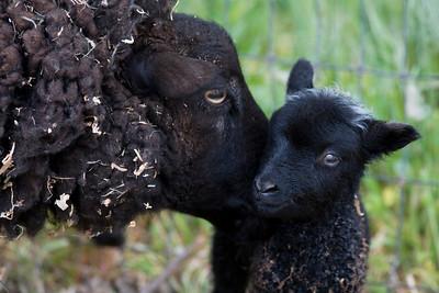 Wendys Lambs