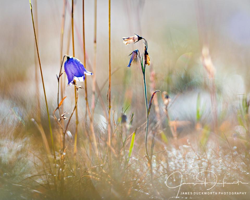 Wildflowers, Hurricane Ridge, Olympic National Park