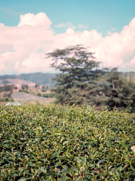 Tea Leaf 2