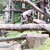 Chimps II