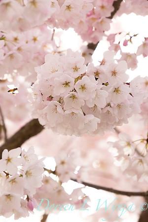 Prunus x yedoensis flowering cherry_6204