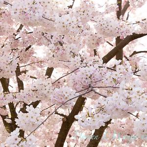 Prunus x yedoensis flowering cherry_6197