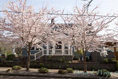 Prunus x yedoensis flowering cherry_6189