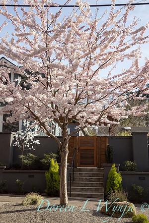 Prunus x yedoensis flowering cherry_6194