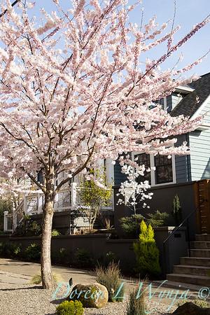 Prunus x yedoensis flowering cherry_6192